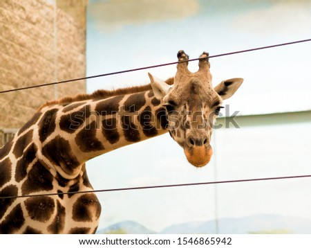 Close up giraffe on a safari, seen closely, with a natural and warm background. Hot habitat. Giraffes related to each other. Harmless giraffes, wanting to receive food.