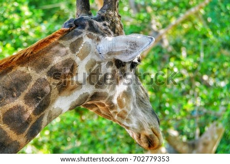 Close up  giraffe with green background #702779353