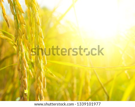 close up golden ear of Thai jasmine rice plant on organic rice field background with sunlight. other name called paddy , rough rice , unhusked . its have carbohydrate that good food for health .
