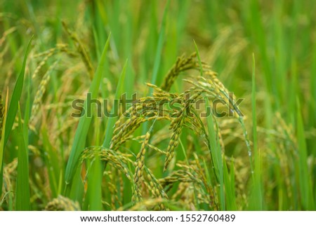 Close up golden yellow rice in terraced paddy field in the field.