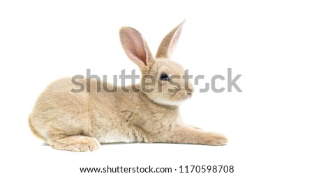 Close up gray baby rabbits 3 month old on a white background. Single of Short hair adorable baby rabbit, Beautiful easter bunny rabbit use for easter holiday concept. (color : Brown, Black, dot, gray)