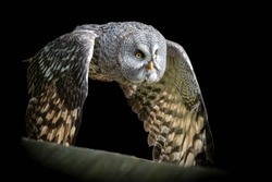 Close up Great Grey Owl in Flight