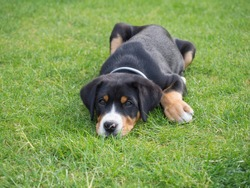 close up greater swiss mountain dog puppy portrait lying in the green grass, selective focus