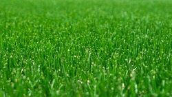 Close-up green grass, natural greenery background texture of lawn garden. Ideal concept used for making green flooring, lawn for training football pitch, Grass Golf Courses, green lawn pattern.