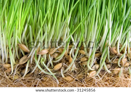 close-up green grass with roots