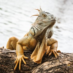 Close up green iguana on twisted tree branch.