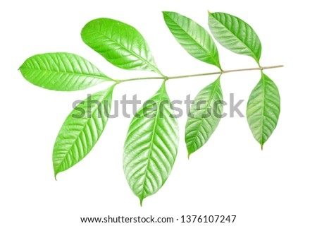 Close up green leaf isolated on white background with clipping path. Flora design concept. #1376107247