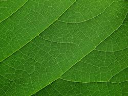 close up green leaf of Bastard teak ( Butea monosperma )