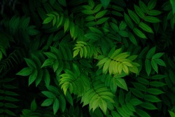 close up green leaves on a black background  copy space, natural green foliage wallpaper