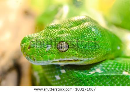 Close up green snake.