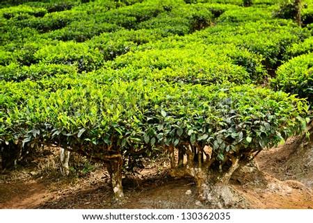 close up green tea tree