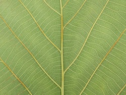 close up green teak leaf texture