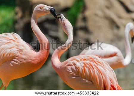 Close up group of a pink Chilean Flamingo (Phoenicopterus chilensis) in the zoo, they are from Southern South America range. They have the longest neck & legs in proportion to body size of all birds
