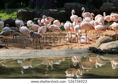 Close up group of a pink Chilean Flamingo with water reflection in Houston zoo
