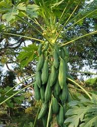 close up, Group of green papaya tree on nature background