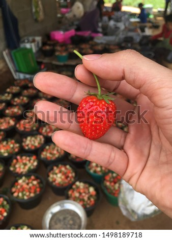 Close up hand holding freshly picked bright red strawberries in a farm. Picking