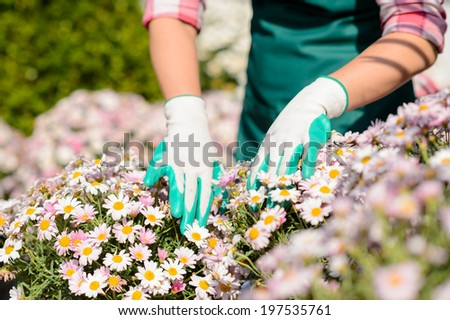 Close-up hands in gardening gloves touch daisy flowerbed sunny day #197535761