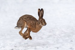Close up Hare running in the winter field