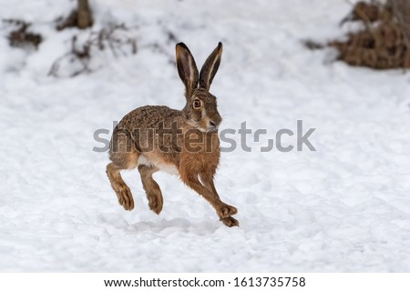 Close up Hare running in the winter field Сток-фото ©