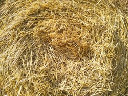 Close-up hay in round bale. Hay bale. Blank. Circle. Golden coiled hay with copy space. Macro golden cylindrical coil of straw. Texture of straw. Hay ball background.