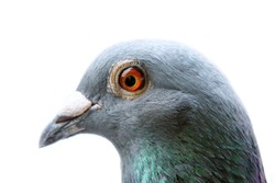 close up head and eye of homing pigeon on white background