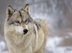Close up, head and shoulders image of a Timber Wolf, or Gray wolf. Shallow depth of field.