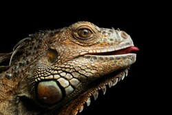 Close-up Head of Green Iguana Gazing Scary and raising tongue Isolated on Black Background