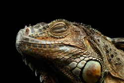 Close-up Head of Green Iguana Sleep with Close Eyes Isolated on Black Background