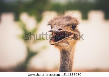 Close up head ostrich on blurred background, ostrich bird wildlife concept #1511853080