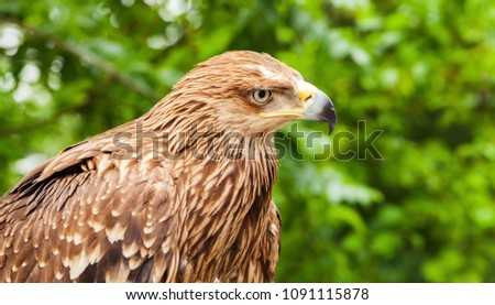 Close-up head profile of golden eagle Aquila chrysaetos. It is one of the best-known birds of prey