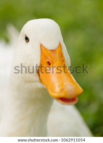 Close up head shot a cute white duck speaking with blurry nature background, looking like donald duck speaking with you.