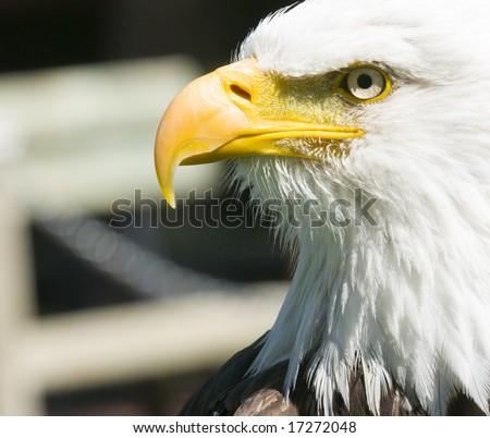 Close up head shot of a bald eagle - stock photo