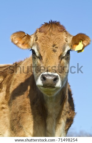 Close up head shot of a Jersey Cow staring curiously at the camera