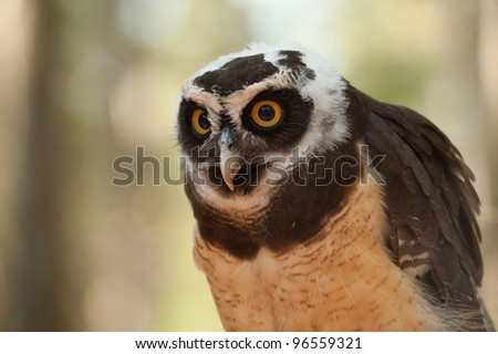 close up head shot of a Spectacled Owl (Pulsatrix perspicillata) with big orange eyes