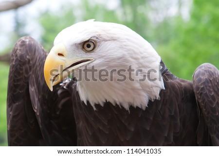 Close up head shot of an American bald eagle