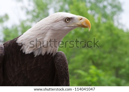 Close up head shot of an American bald eagle
