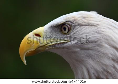 Close up head shot of an American Bald Eagle.