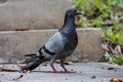 Close up head shot of beautiful speed racing pigeon bird, Rock dove or common pigeon bird on ground
