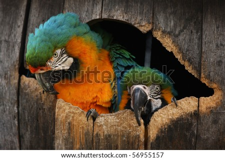 Close up head shot of two macaw parrots in their nest barrel box.