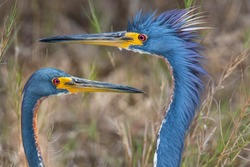 Close Up Head Shots Of Two Tri Colored Herons Facing Each Other
