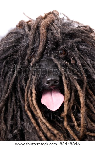 Close up head study of a Puli dog