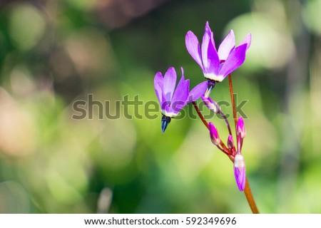 Close up Henderson's Shooting Star (Primula hendersonii), California