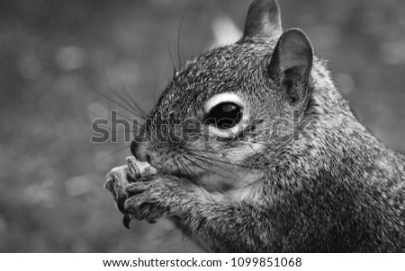 Close up hi res image of Grey Squirrel eating.  Black and white image side profile with great detail of the fur, eye, whiskers and front paws