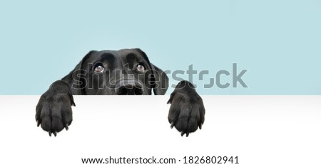 Close-up  hide black labrador dog looking up giving you whale eye hanging over a blank sign with room for text. Isolated on colored blue background.  Сток-фото ©