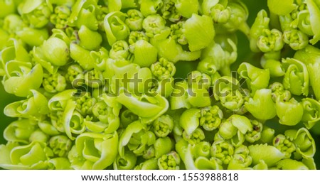close up high angle view of young hydrangea flower or hortensia, botany, textured background #1553988818