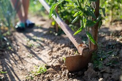 Close-up hoeing tomatoes. Hoe from hand tools used for hoeing and planting flowers. Caring for garden herbts. Garden tools.