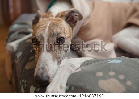 Close up horizontal portrait showing the face of a brindle and white adopted pet greyhound. Wearing a fleece jacket and resting her head on a blanket Foto stock ©