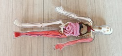 close up Human body and Organs model with brown wooden background