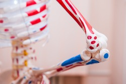 Close up human skeleton cubit anatomical model. Medical clinic concept. Selective focus