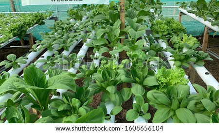 Close up hydroponic vegetable growing techniques Sawi
